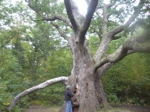 The Great White Oak of New Braintree. It took 7 men holding hands to reach around the trunk at chest height. Our name 'Great Oak Services' is based on this tree!